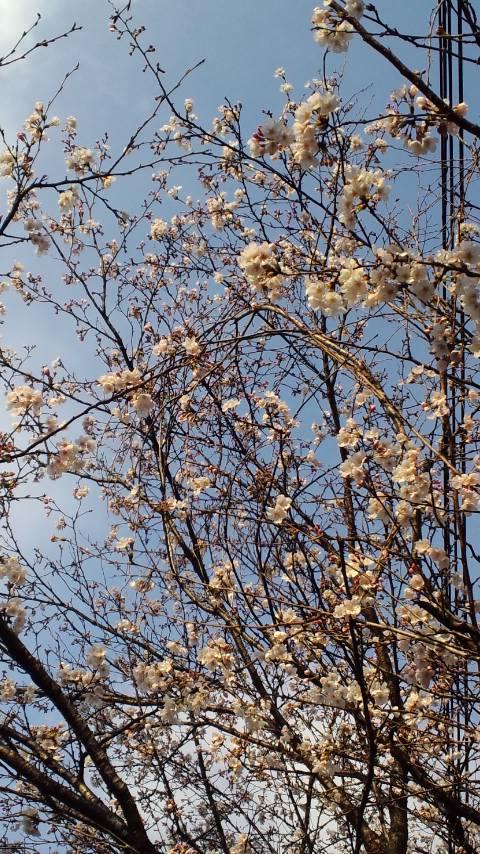 アオイソラニ桜ト雪雲